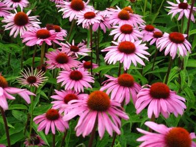 echinacea_flowers